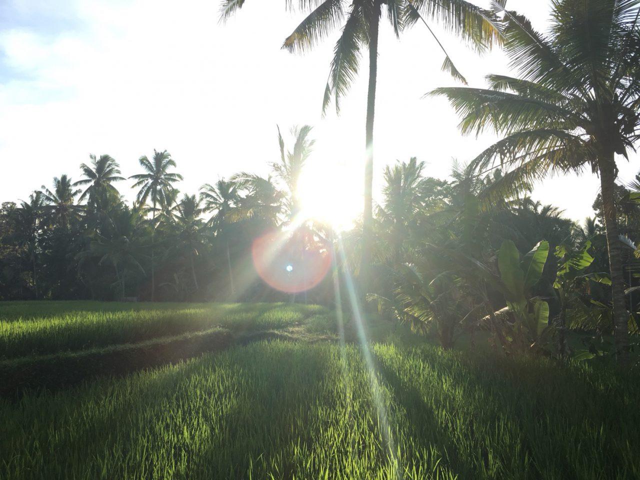 朝日に輝く稲穂