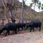 スンバワ島の水牛