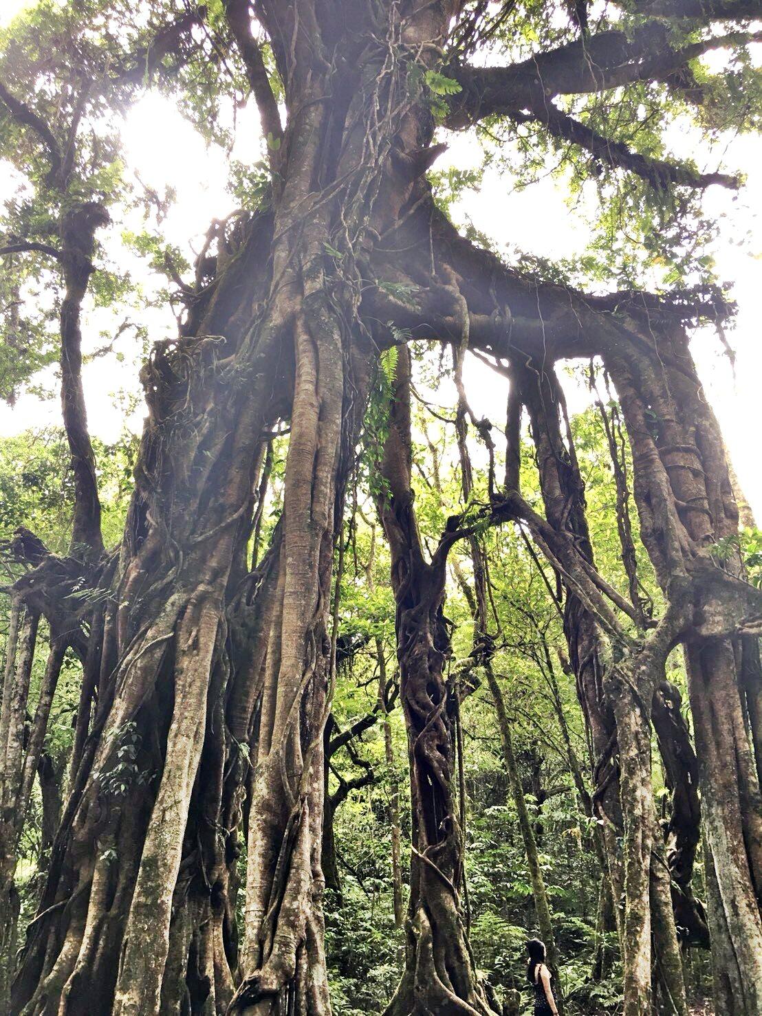 植物のチカラみなぎる大木