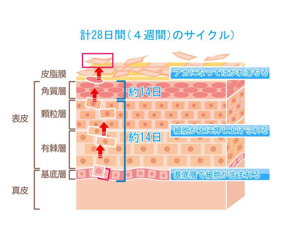 皮膚の組織図